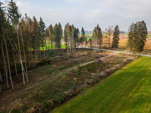 Was von einem Wald übrig blieb: Im Ried verschwanden in den letzten zwei Jahren Hunderte Bäume. VN/Paulitsch