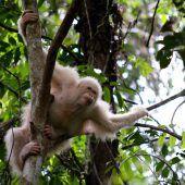 Der Albino-Orang-Utan Alba ist wieder frei