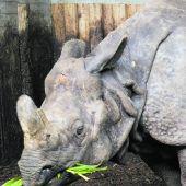Von Fluten mitgerissenes Nashorn darf wieder nach Hause zurück