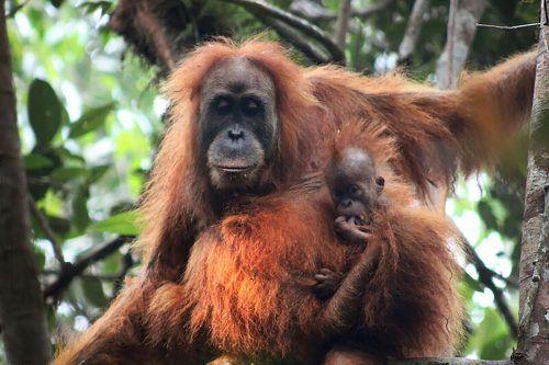 Der Tapanuli-Orang-Utan ist der seltenste Menschenaffe der Welt. AFP