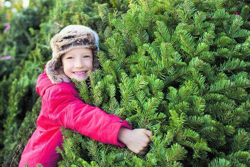 Die Nordmanntanne ist bei uns der beliebteste Weihnachtsbaum.