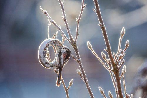 Die Schwanzmeise freut sich über das Futter im winterlichen Garten. Assil
