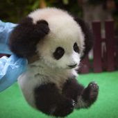 Süßes Pandababy