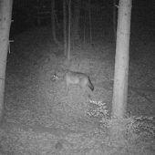 Wolfalarm in Klaus?