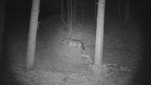 Hund oder Wolf? Das ist hier die Frage, die derzeit Experten beschäftigt. wildkamera