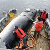 Japan will ab Juli wieder auf Walfang gehen