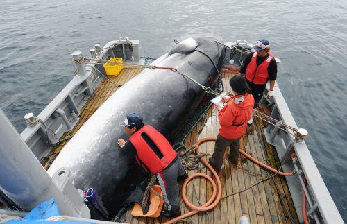 Japan will aus der IWC austreten und ab 2019 wieder kommerziell Wale jagen. AP
