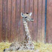 Bedrohte Giraffenart