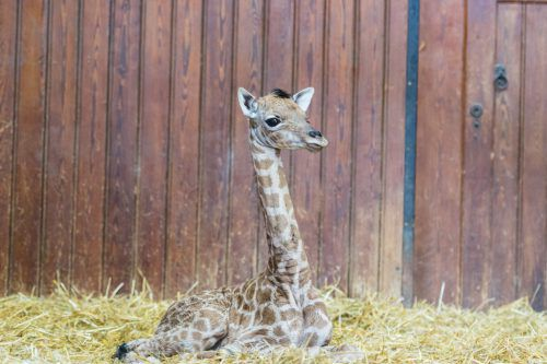 Das Giraffenkalb Penda wog nach der Geburt 57 Kilogramm.Zoo Basel