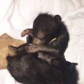 Zwei kleine Bären aus Wildtierhandel befreit
