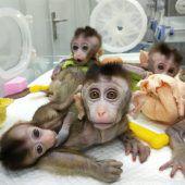 Genveränderte Affen geklont