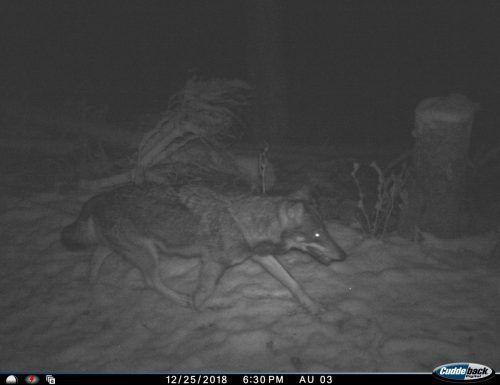 Dieses Bild eines durchreisenden Wolfs nahm die Wildtierkamera im liechtensteinischen Saminatal auf.FMI Today
