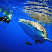 Im Wasser mit Walhaien