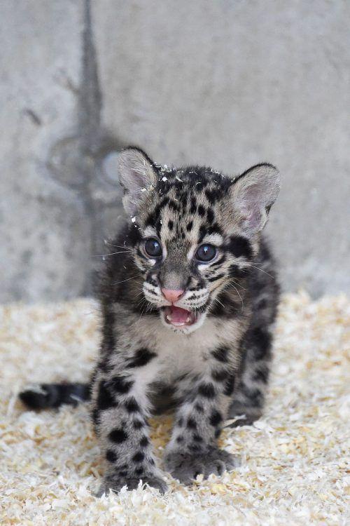 """Im Zoo Mulhouse im Elsass gibt es die """"kleinen Großkatzen"""" zu sehen. AFP"""