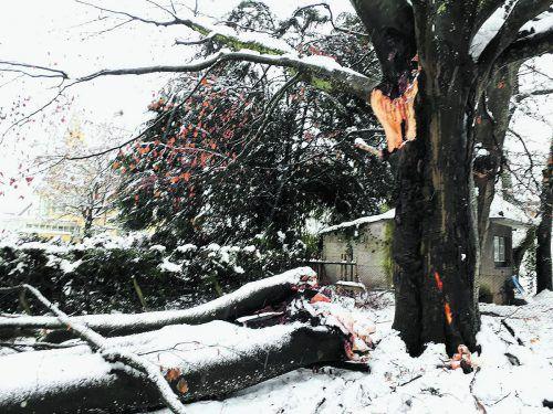 In Bregenz hielten viele Bäume der Schneelast nicht stand. Bauhof Bregenz
