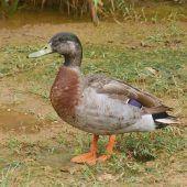 Trevor, die einsamste Ente der Welt, ist tot