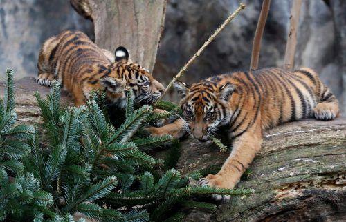Zwischen den Zweigen sind kleine Leckerbissen versteckt. Reuters
