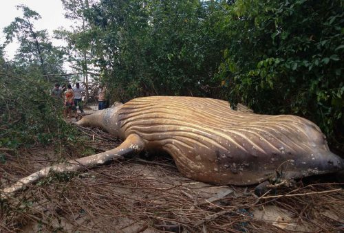 Auf einer Insel in Brasiliens Amazonasdelta wurde rund 15 Meter vom Ufer entfernt ein toter Jungwal entdeckt. Experten rätseln, wie der Wal auf die Insel geraten konnte. AFP