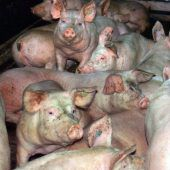 Behandlung von Tieren und Fleischskandale
