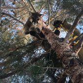 Feuerwehr rettet Puma vom Baum