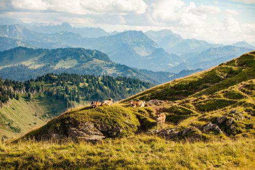 Die Kälber werden im Naturpark Nagelfluhkette geboren und verbringen dort ihr gesamtes Leben. Moritz Sonntag