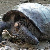 Ausgestorben geglaubte Riesenschildkröte entdeckt