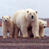 Entwarnung am Polarmeer: Eisbären ziehen sich zurück
