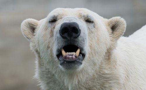 Eisbären wandern auf Nahrungssuche immer näher an Siedlungen. DPA