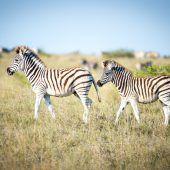 Baby-Zebras auf Reise