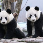 Oscars der Panda-Welt