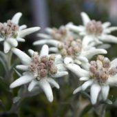 Edelweiß ist die Arzneipflanze des Jahres in Österreich