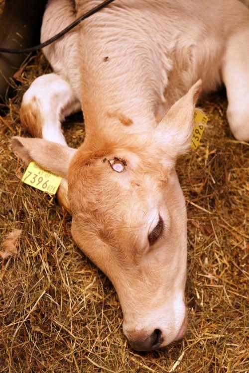 Kälbertransporte erregen die Gemüter von Tierschützern.Berchtold