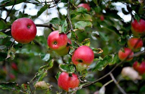 Neuseeland befürchtet, dass das Obst ungenießbar wird. APA