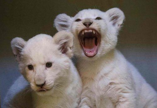 Vor der ersten Impfung wird doch noch etwas Löwengebrüll erlaubt sein. AFP