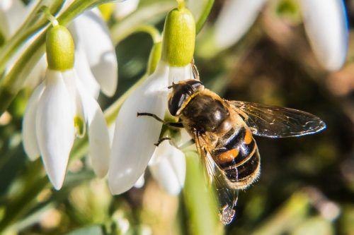 Die Bienen haben in Vorarlberg ein hartes Jahr hinter sich. VN/Steurer