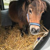 Pensionist transportiert Pony in Kleinwagen
