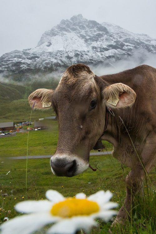 Die allermeisten Kühe sind auch auf den Alpen friedlich. VN/Steurer