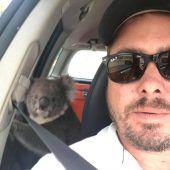 Koalabär als blinder Passagier