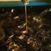 Dicke Fische im Stadel
