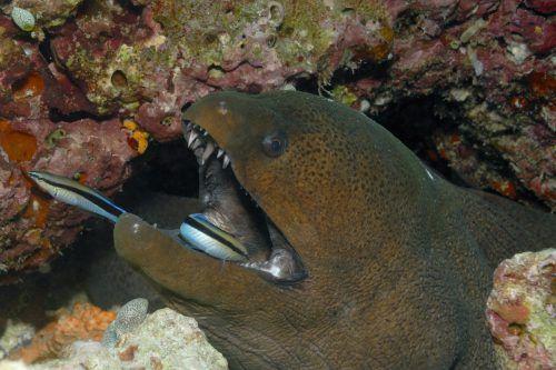 Kosmetikbehandlung unter Wasser: Die Putzerfische schwimmen ins Maul des Raubfisches und auch wieder heraus. Lebend. fotolia