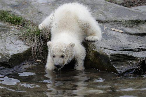 Tapsig folgte das dreieinhalb Monate alte, noch namenlose Eisbärchen seiner Mutter Tonja aus der Wurfhöhle auf die Außenanlage mit Felsen und Wasserbecken. AP; AFP