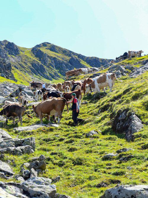 Auf das Kuh-Urteil folgt ein Aktionspaket. Landwirtschaftskammerpräsident Josef Moosbrugger ortet mehr Sicherheit für alle. APA