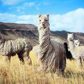 Alpacawolle alsExportgut