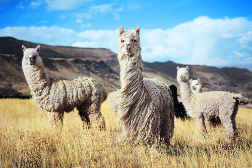 Das Fell der Tiere wird auf der ganzen Welt geschätzt.