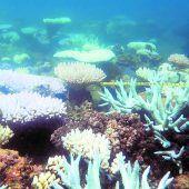 Nur noch wenige neue Korallen im Great Barrier Reef