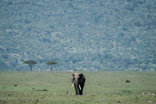 Die Bestände der 15 häufigsten Wildtierarten in Masai Mara sind seit 1977 um 40 bis 93 Prozent zurückgegangen. AFP