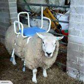 Schaf als Sitzrasenmäher