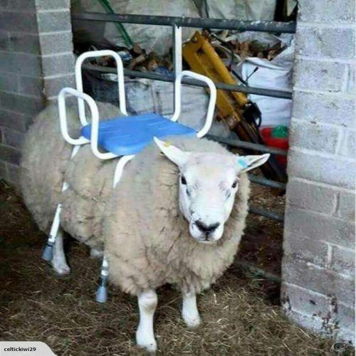 Ein Neuseeländer will ein Schaf mit Sessel als Sitzrasenmäher verkaufen.