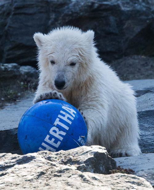 Eisbärin Hertha tobt mit einem Ball des gleichnamigen Fußballvereins. APA