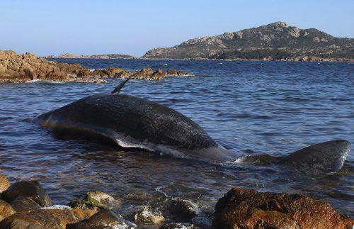 Im Magen dieses acht Meter langen und acht Tonnen schweren Pottwals, der vor der Küste Sardiniens gestrandet ist, wurden 22 Kilo Plastik gefunden. AP